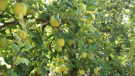 Growing yellow organic apples on tree brunch in orchard in sunny day Stock mozgókép