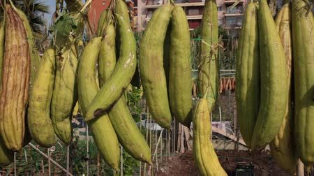 kalebas : Sponge Gourd (Luffa aegyptiaca) is dried on the fence Stockvideo