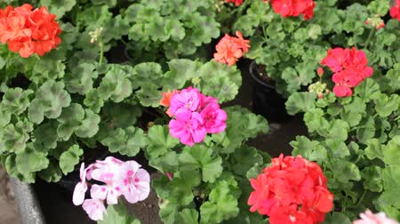 герань : Closeup of colorful blooming geranium flowers grown in pots in greenhouse on background of foliage greenery
