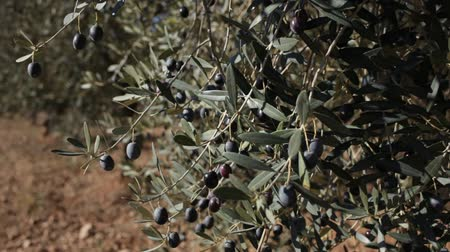 çekicilik : Fresh ripe olives hanging on tree branches in autumn olive grove