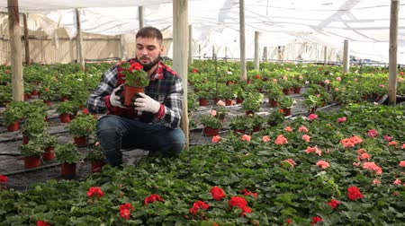 герань : Positive male florist working with geranium plants in hothouse indoors