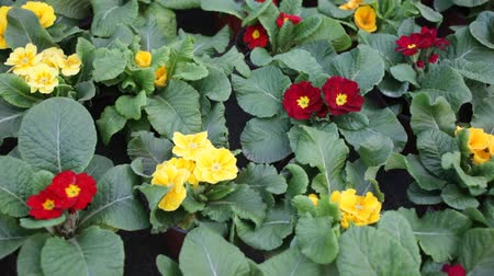 kankalin : Green plantation of potted primula plants with bright colorful flowers cultivated in greenhouse Stock mozgókép