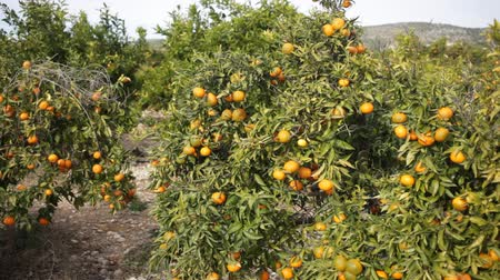 mandarynka : Orchard - ripe tangerines on a branch in the garden Wideo