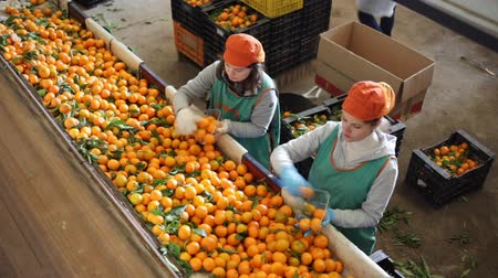 agrarian : Female employee in colored uniform sorting fresh ripe mandarins on producing grading line