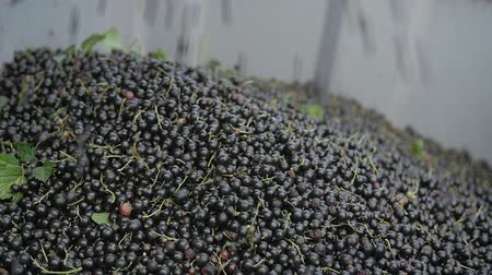 groselhas : Blackcurrant harvest in slow motion