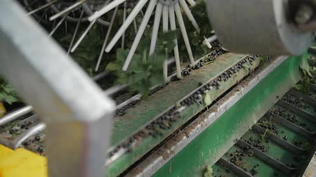 groselhas : Blackcurrant machine harvest in slow motion