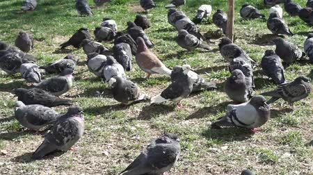 birdie : Flock of city pigeons sits on grass Stock Footage
