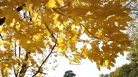 broşür : Sun shines through yellow leaves in autumn close-up. Yellow leaf on branch on background