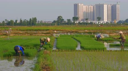 migrants : Lush green rice fields with farmers working as new skyscrapers are being constructed in rural areas. Building with cranes show the progress of third world countries. Stock Footage