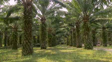 industrialization : Symmetrical rows of palm trees used in the manufacturing of palm oil for human consumption used in many processed foods in 4k