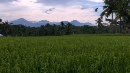 tropical : Reveal of volcanos of Bali, Indonesia through a lush rice field near Ubud during sunset or sunrise Stock Footage