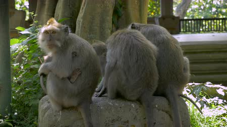macaca fascicularis : A group of monkeys sitting on a rock with their backs to the camera ignoring and turning away from people.