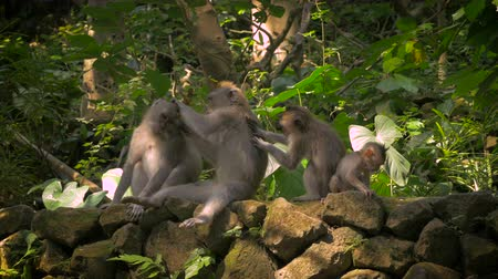 macaca fascicularis : A line of monkeys in the Monkey Forest in Ubud are grooming each other