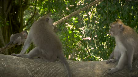 macaca fascicularis : A large bully monkey walks by smaller monkeys as they get out of the way while she then sits on top of a Monkey statue.