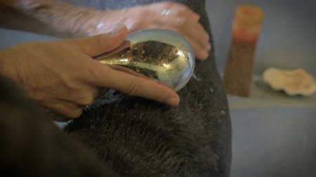 weterynarz : Slow motion hand held portrait of a Great Dane being rinsed off during a bath revealing her large head Wideo