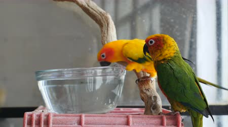 papuga : Two conure parrots perched on a plastic crate and wooden stick while one takes a drink out of water out of a glass bowl outside of a cage. Wideo