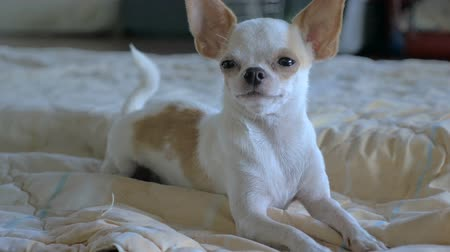 unconditional : A close up of an adorable chihuahua laying on a bed in slow motion