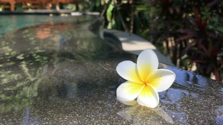 holiday villa : A white and yellow flower, Plumeria, floating in a rippling, calm, swimming pool in Bali, Indonesia