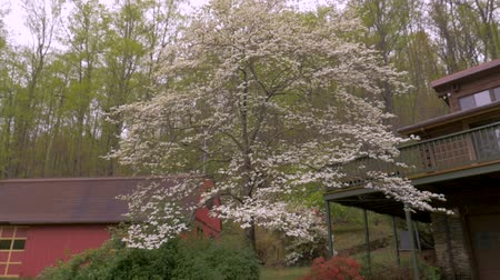 füstös : Push in of white dogwood blossoms and azalea flowers in front of a barn and log cabin in the woods