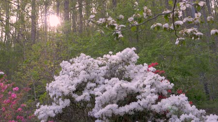 füstös : White, pink and red azalea flowers with lens flare in a forest setting against a setting sun Stock mozgókép