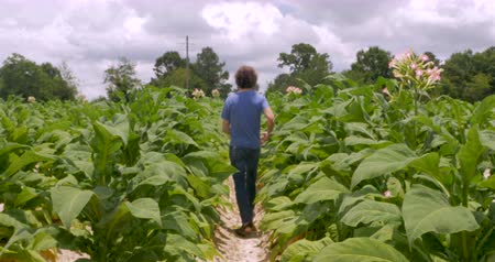 никотин : Man walking down an isle of flowering tobacco plants on a tobacco farm toward the trees in the summer