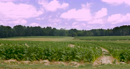 никотин : Rows of flowering tobacco fields in the hills of southern Virginia with a clear blue sky