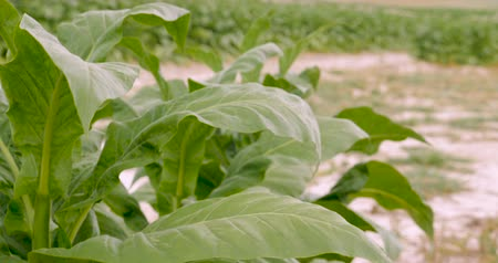 никотин : Tilt up of healthy tobacco plants in a field in the hills of Virginia