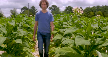 никотин : Man closely looking at flowering tobacco plants in a field