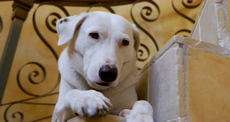 itaat : Well behaved large mixed breed white and black dog lying on a spiral staircase - close up push in