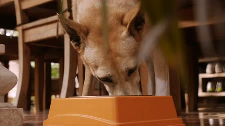 trained : Close up of a brown mixed breed dog eating food in a home in slow motion Stock Footage