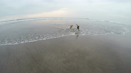 itaat : Two dogs running off leash, playing, and frolicking together in the ocean shallow water