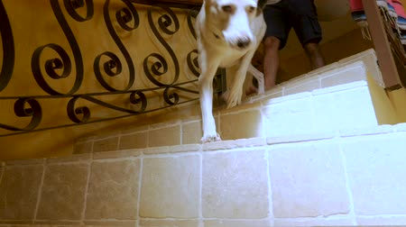 large ears : Man and his happy black and white large dog walking down tiled spiral stairs past the camera in slow motion
