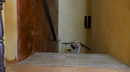 fél : Well behaved, happy yellow or golden labrador retreiver mixed breed dog walking up stairs past the camera wagging her tail in slow motion