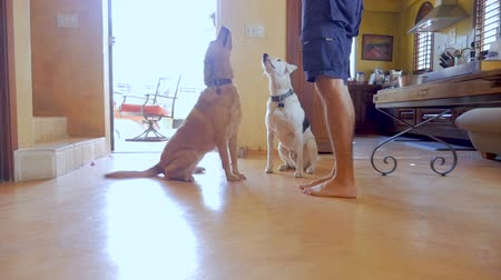 trained : Two happy dogs wagging their tales, sitting at attention listening and watching their owner and then one lies down in slow motion