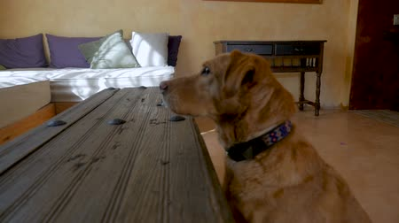 trained : Profile of a beautiful yellow or golden labrador retriever mixed breed pet dog sitting at attention listening to an owner for instructions in slow motion Stock Footage