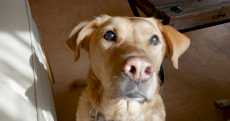 at kuyruğu : Close up of a happy yellow or golden labrador retriever dog sitting, wagging her tail, and looking at the camera