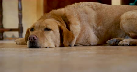 atenção : Low angle of a golden or yellow labrador retriever dog lying on the floor, relaxed and resting with her eyes open