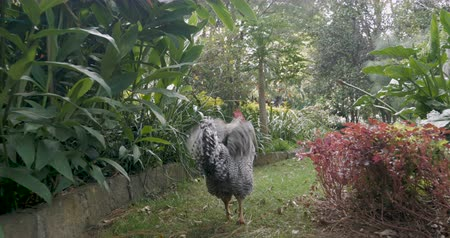 grzebień : Camera follows a barred rock rooster walking through a beautiful garden ruffling his feathers with sun glare - stabilized shot