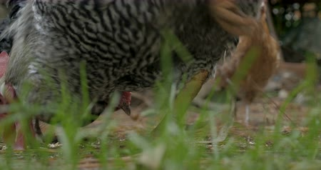 jíst : Close up of two free range organic egg laying chickens and a rooster eating feed from the grass - ground level Dostupné videozáznamy