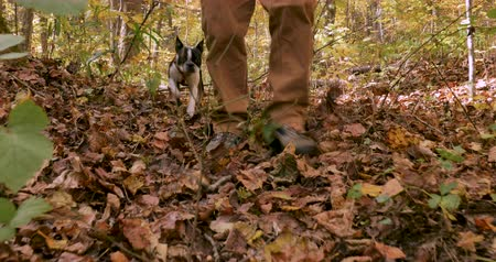 companionship : Low angle of a small purebred Boston Terrier dog and a mans feet walking through fallen leaves in the woods and past the camera during the day