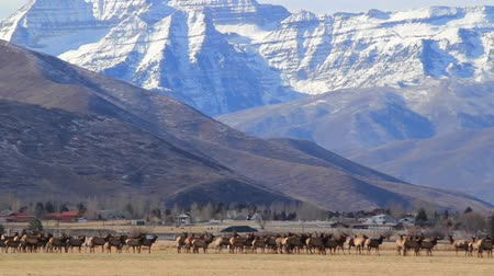 горный хребет : a giant herd of elk resting in an open field beneath a large snowy mountain range