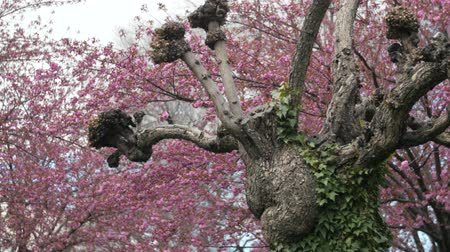 margarida : Beautiful old trees at Temple Sqaure in Salt Lake City Utah in the springtime