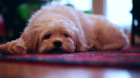 tlapky : a small dog resting on the floor inside his home