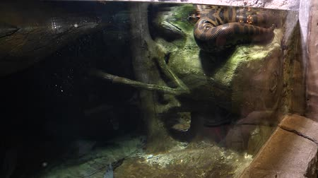 boa yılanı : a huge snake in an aquarium