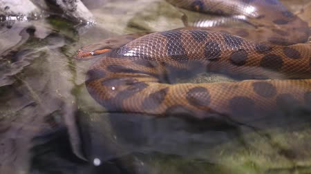 cobra : a huge snake in an aquarium