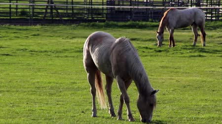 cavalos : Horses graze in a green pasture in the early morning light