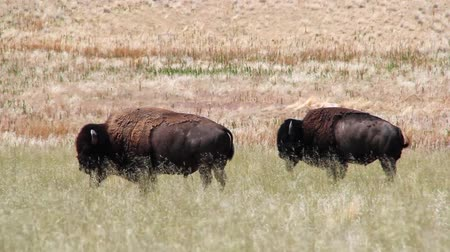 pastar : Buffalo graze in the grassy fields of the midwest