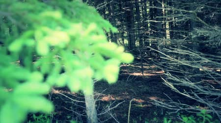 ladin : a jib shot of a thick pine tree forrest Stok Video