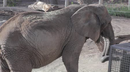 captivity : african elephants in captivity at the zoo Stock Footage