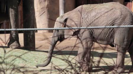 large ears : Baby Elephant at the Zoo